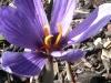 Sonoma Saffron